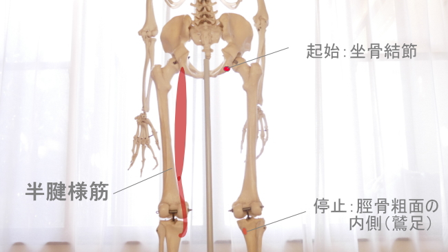 脛骨に付着する半腱様筋