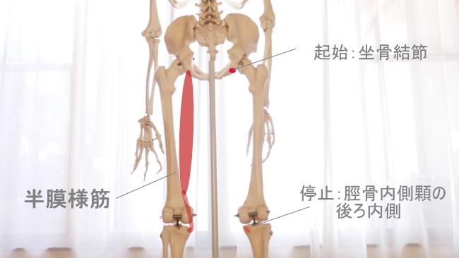 ひかがみの内側の半膜様筋