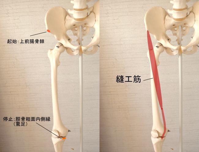 脛骨に停止する縫工筋