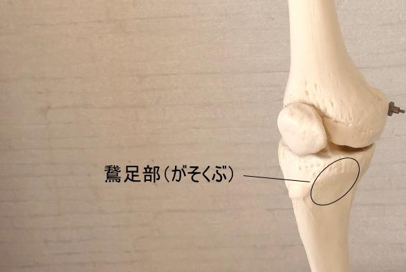 薄筋の鵞足部