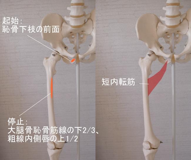 骨盤(恥骨)を起始とする短内転筋