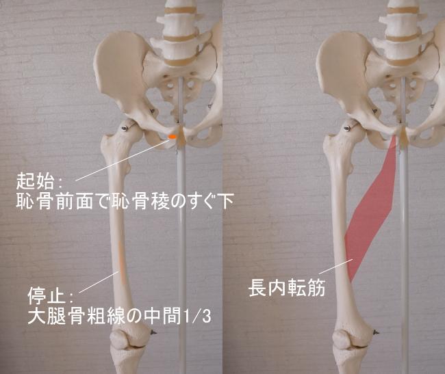 恥骨筋と長内転筋