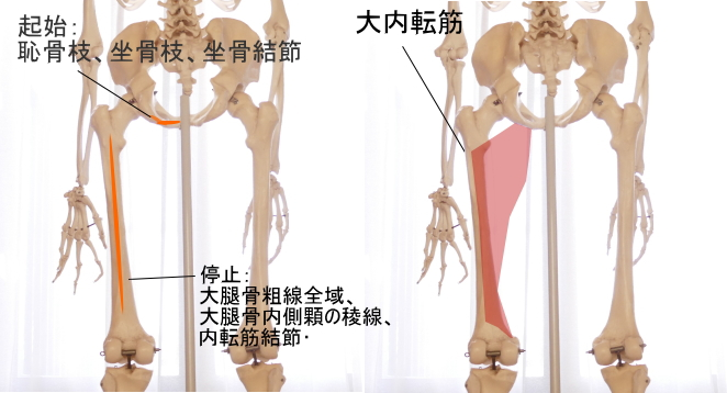 坐骨を起始とする大内転筋