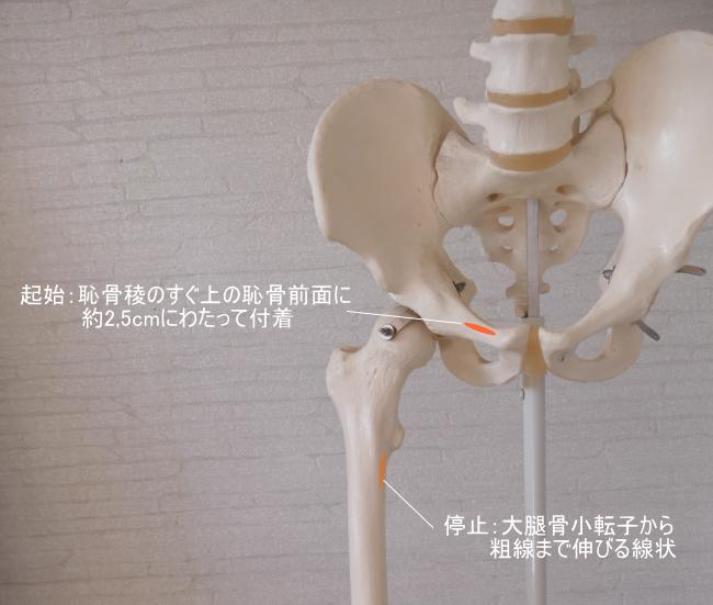 恥骨筋の付着部