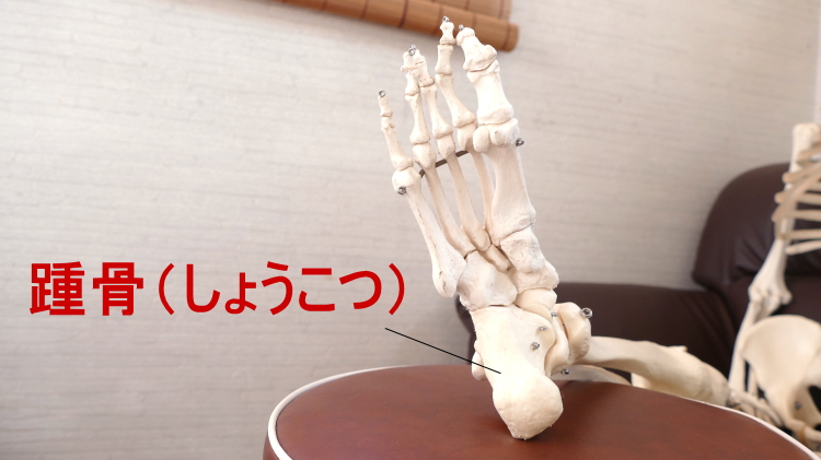 かかとの骨の踵骨