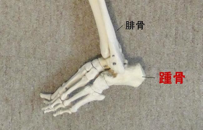 内側から見た踵骨