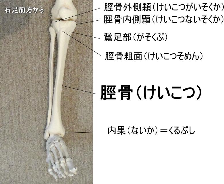 鵞足部のある脛骨
