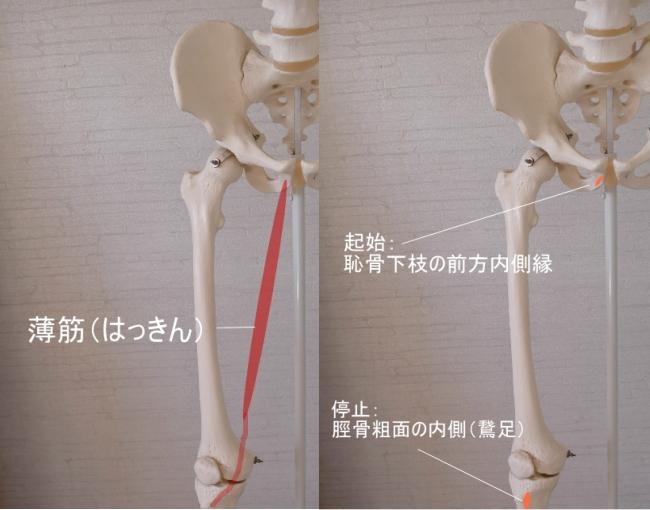 脛骨につく薄筋