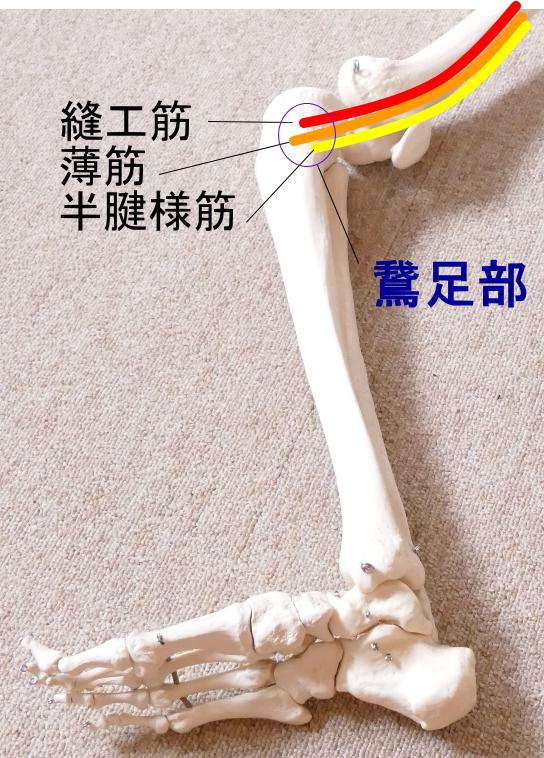 薄筋の停止、鵞足部