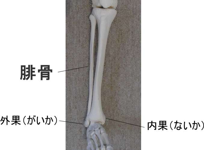 腓骨と内果