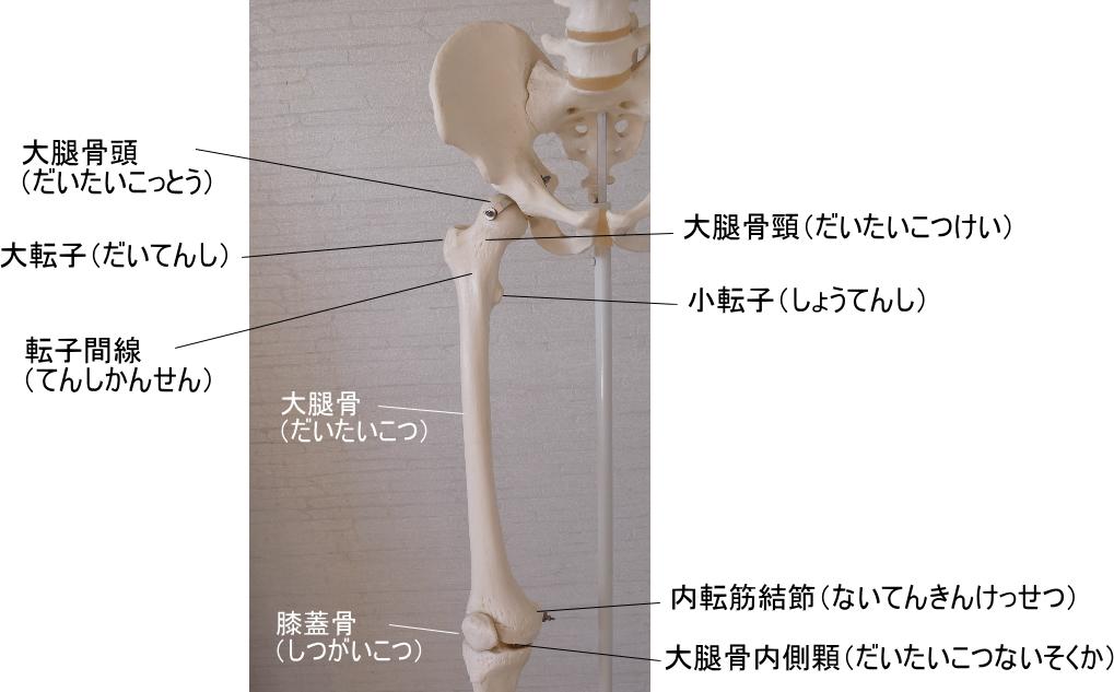 股関節を作る大腿骨