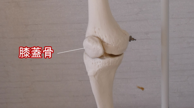 内側から見た膝蓋骨