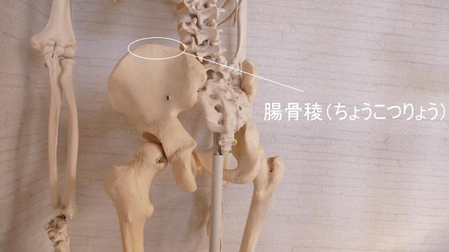 腰方形筋が付着する腸骨稜