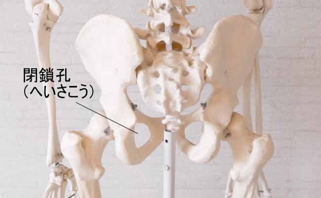 坐骨と恥骨に囲まれた閉鎖孔
