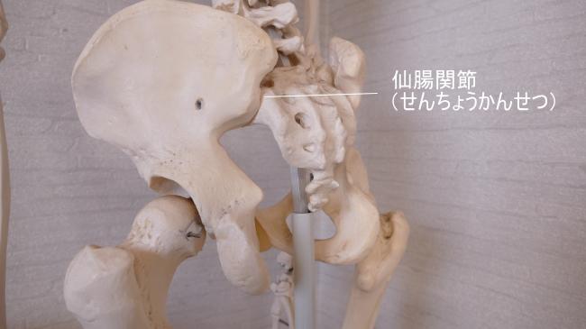 後ろから見た仙腸関節