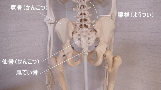 大殿筋の付着する骨盤
