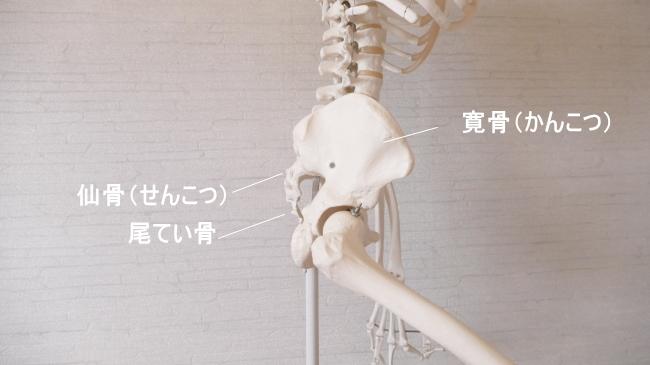 横から見た骨盤。