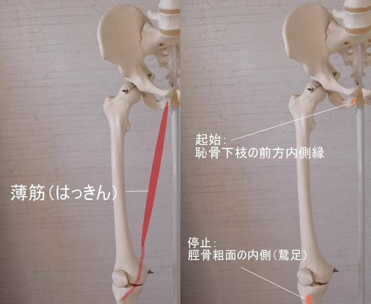 骨盤(恥骨)を起始とす薄筋