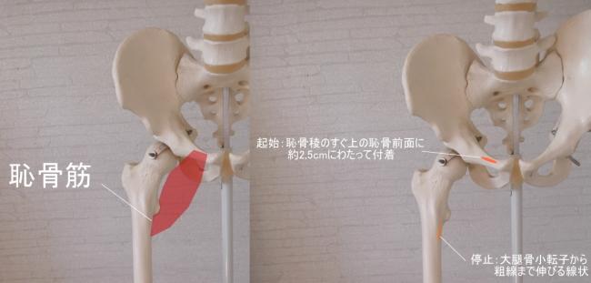 骨盤(恥骨)を起始とする恥骨筋