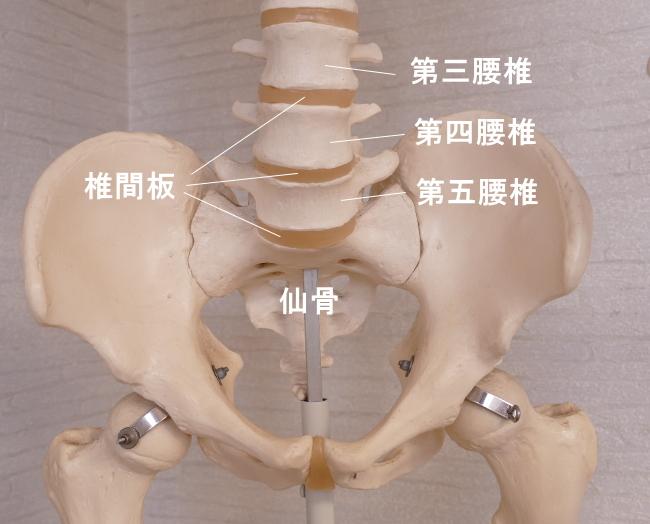 骨盤の仙骨と腰椎