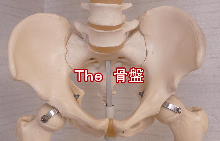 骨盤の徹底解説