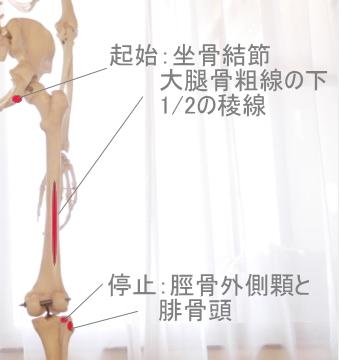 大腿二頭筋の起始と停止