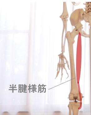 大腿後部の半腱様筋
