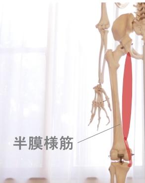 半膜様筋の走行