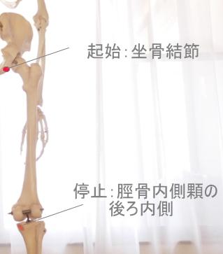 半膜様筋の起始と停止