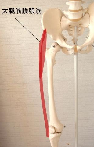 前方から見た大腿筋膜張筋