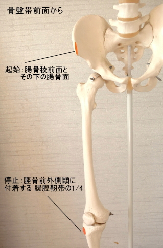 大腿筋膜張筋の起始と停止