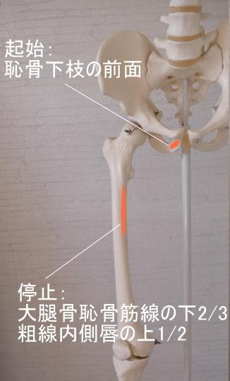 短内転筋の起始と停止