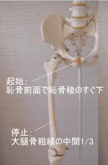 長内転筋の起始と停止