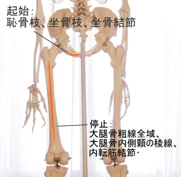 大内転筋の起始と停止