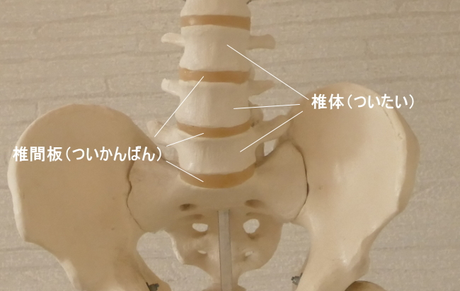 椎体と椎間板