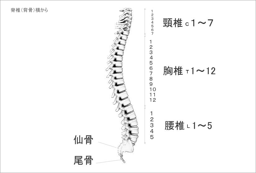 背骨と頸椎