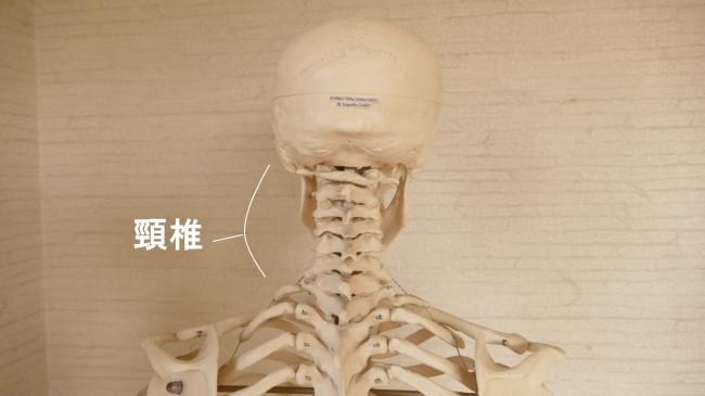 後ろから見た頸椎