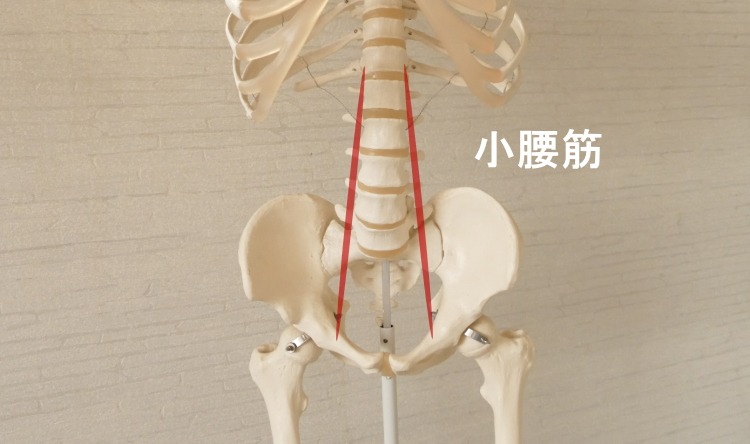 腸腰筋を構成する小腰筋