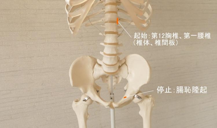 小腰筋の起始と停止