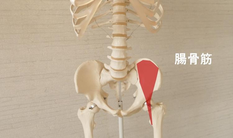 前面から見た腸骨筋