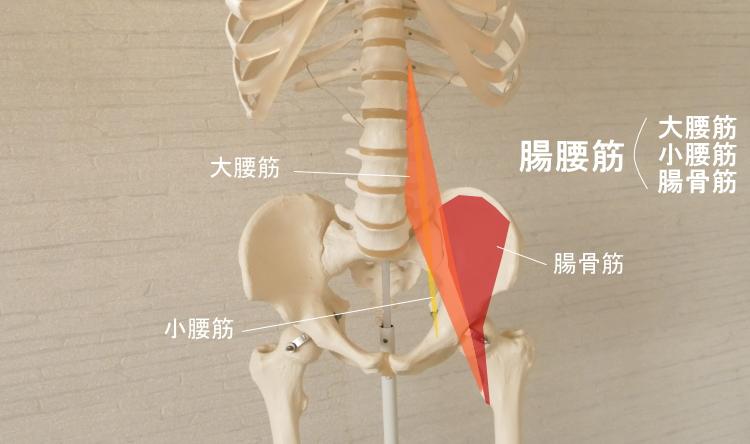 腸骨筋が構成する腸腰筋