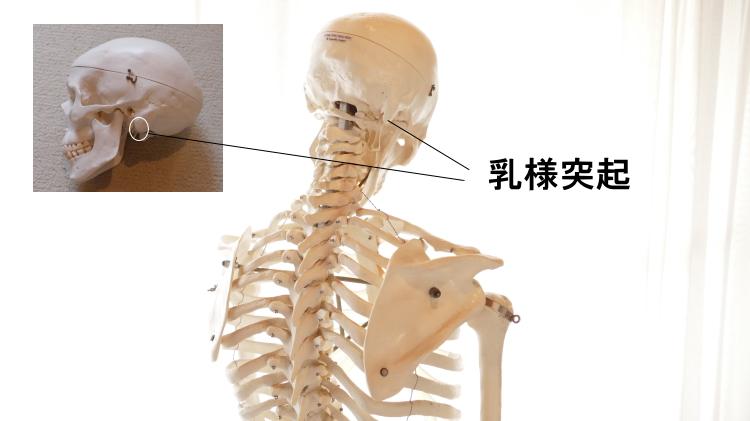 頭板状筋の停止、乳様突起