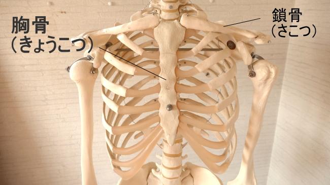 胸骨と鎖骨
