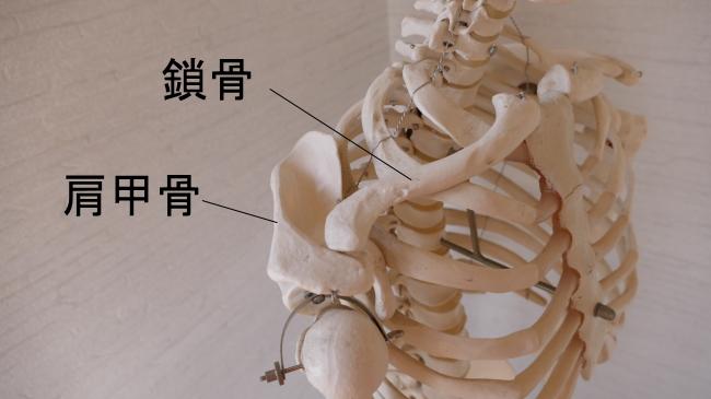 鎖骨と肩甲骨