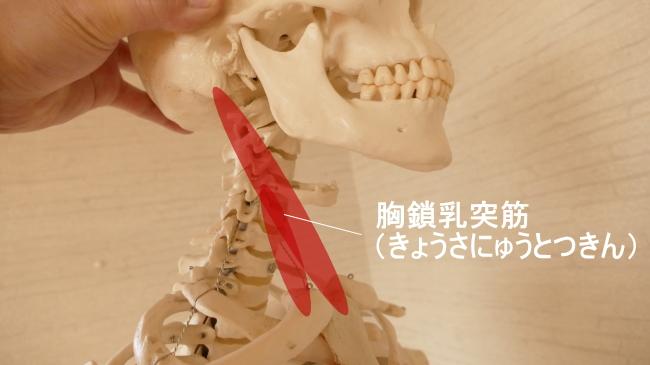 胸鎖乳突筋と内頸部