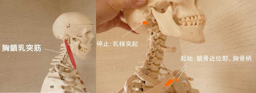 首を動かす胸鎖乳突筋