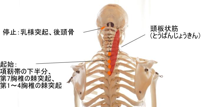 頭板状筋の起始と停止