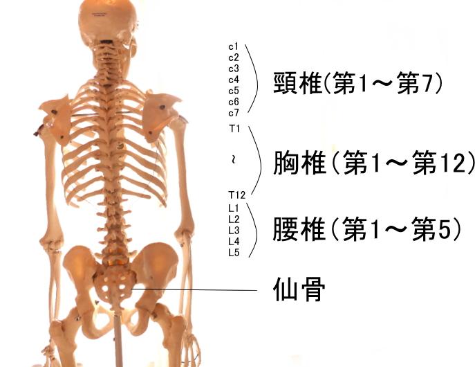 脊柱起立筋の付着する脊柱