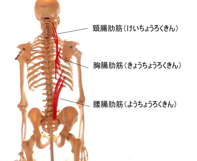 脊柱起立筋を構成する腸肋筋。