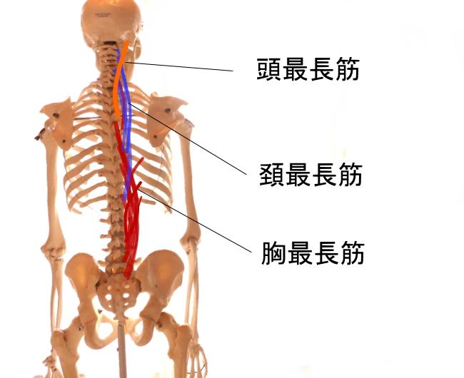脊柱起立筋を構成する最長筋